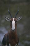 Bontebok eye contact