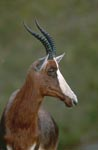 Bontebok turns his head
