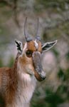 The Bontebok {Damaliscus Dorcas}