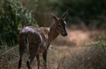 Cape grysbok comes out of the bush