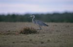 Young Black-headed Heron on the field