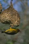 Cape Weaver has almost finished its nest