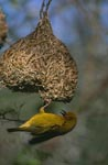 Cape Weaver is busy at the nest