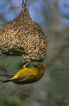 Cape Weaver with his finished nest