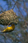 Cape Weaver at the nest