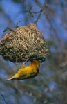 Cape Weaver checks his nest