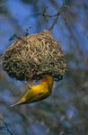 Male Cape Weaver in the artful nest building