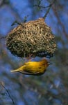 Cape Weaver hangs under its nest