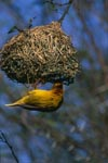 Cape Weaver building a nest