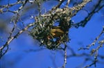 Cape weaver bird begins to build a nest