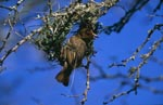 Cape Weaver at nest building, initial phase