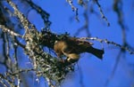 Cape weaver begins to build a nest