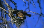 Cape Weaver builds a new nest