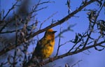 Cape Weaver Bird on a branch