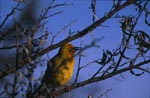 Cape Weaver Bird on a tree