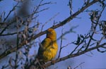 Cape Weaver in the branches
