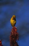 Cape Weaver with a top spot