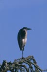 Quiescent Black-headed Heron