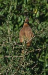 Brown wing mouse bird in the thick Bush