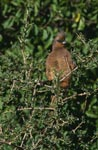 Speckled mousbird in the thicket