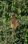 Speckled mousbird in the green of the thicket