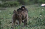 Yellow Baboon with baby at the back