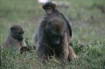 Savanna Baboon with two young animals