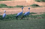 Blue Crane in open field