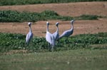 Blue Cranes on farm ground