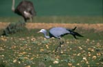 Blue Crane on stony ground