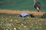 Blue Crane is looking for food