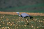 Blue Crane on rocky grass ground