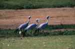 Blue Cranes on the field