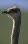 Typical and unmistakable: Ostrich