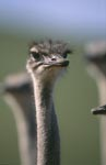 The ostrich is the largest living bird