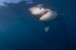 Young White Shark: Fascinating creature of evolution
