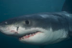 Baby Great White Shark portrait
