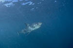Young White Shark in plankton-rich water