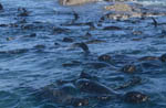 Fur Seals in front of Geyser Rock