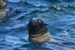 South African Fur Seal portrait