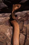 Attentive Cape Cobra