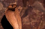 Cape Cobra a dangerous beauty