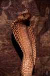 Erected Cape Cobra