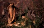 Fascinatingly beautiful Cape Cobra