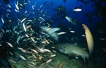 Tawny nurse shark (Nebrius ferrugineus)