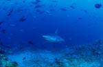 Silver tip shark comes closer