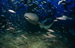 Tawny nurse shark approaching in the shoal of fish