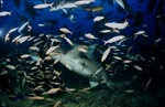 Tawny nurse shark surrounded by numerous fish