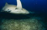 Tawny nurse shark turns off
