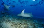 Elegant looking Tawny nurse sharks